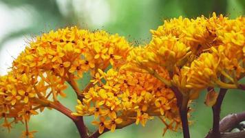Asoka ramo de flores amarillas en plena floración video
