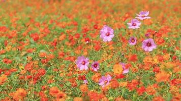 flores laranja do cosmos. video