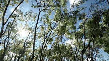 Tree Leaves and Branches Moving with Breeze video
