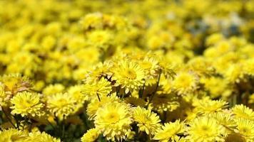 flor de crisantemo amarillo en un día soleado.