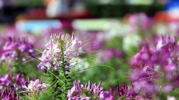 flores de araña rosa púrpura