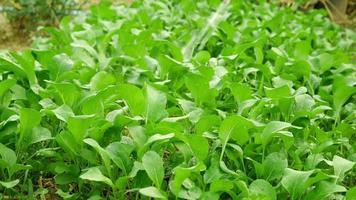 regar uma plantação de vegetais
