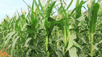 amplo campo de milho. video