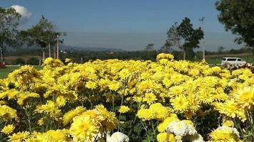 flor de crisantemo amarillo en el viento.