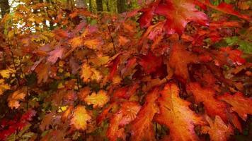 folhas de outono em uma floresta movendo-se com a brisa