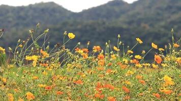 Flores cosmos naranjas y amarillas meciéndose con la brisa video