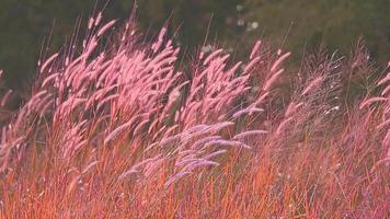 flores e sementes de grama vermelha video
