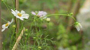 lindas flores brancas do cosmos video