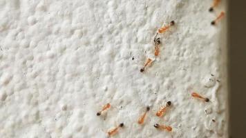 hormigas rojas caminando sobre la pared blanca