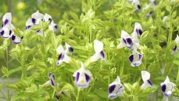 torenia, bluewings ou flores da sorte estão balançando com o vento