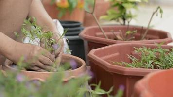 Hands of woman moving young plants to cultivate in a clay pot