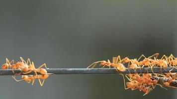 die rote Ameisengruppe, die Lebensmittel transportiert