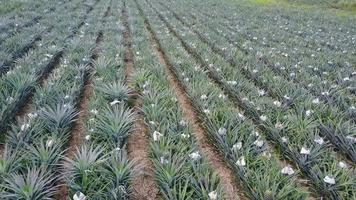 Aerial View of A Pineapple Field