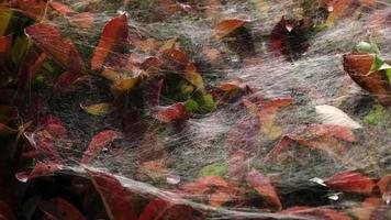 Spider Web On Leaves Of A Bush