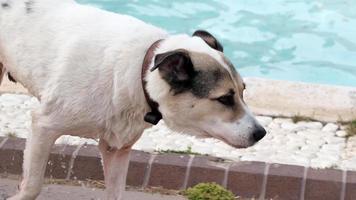 cachorro de rua está saindo de uma piscina
