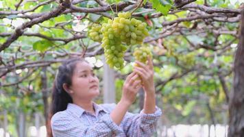 Chica jardinero asiático comprueba la calidad de las uvas en el viñedo video