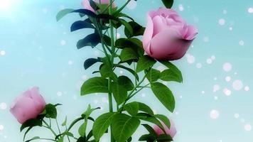 romance roses particules video