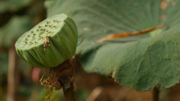inseto e lótus no campo