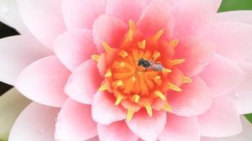 abeja en un loto rosa