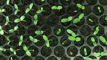 cultivando sementes de feijão video