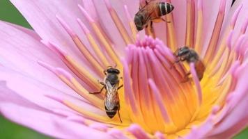 abelhas em uma flor de lótus