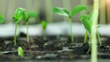 timelapse de crescimento de sementes de feijão. video