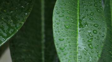 fallender Regen fällt auf grüne Blätter.