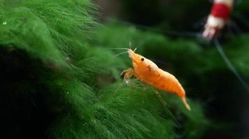 camarón enano amarillo anaranjado sunkist