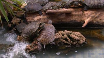 as tartarugas em uma lagoa descansando