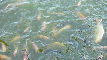 muchos peces se alimentan en el río verde-azul.