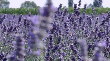 Panning Field Of Lavender With Bees