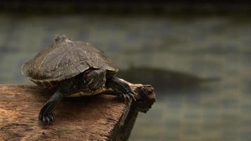 tartarugas aquáticas descansando e nadando na piscina de água