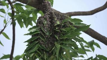 Honigbienenschwarm hängt im Baum video