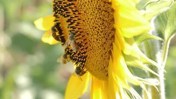 abeilles atterrissant sur un tournesol