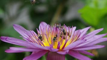Bee Chaos on A Lotus Flower