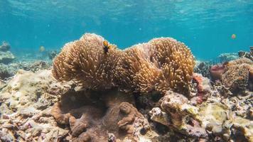 peixe-palhaço aninhado em anêmona-do-mar