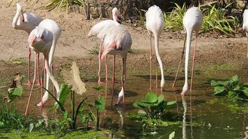 A Group of Flamingos Drinking Water video