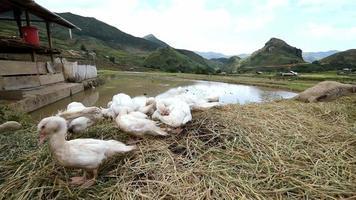 familia del pato blanco