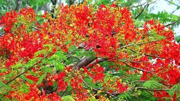 fiori di poinciana reale che si muovono con il vento nella stagione delle piogge