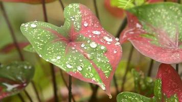 Water Drops on A Caladium Leaf