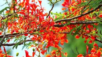 royal poinciana bloemen tak video