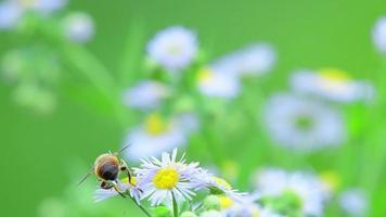 uma abelha sugando pólen de uma flor de margarida branca em um dia de vento video