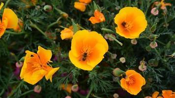 abelhas voando em torno de flores de madressilva