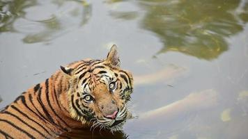 A Tiger in The Water video