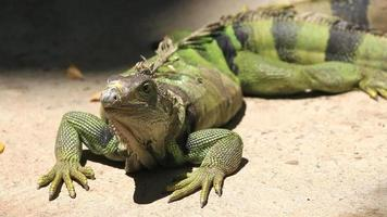iguana verde grande video
