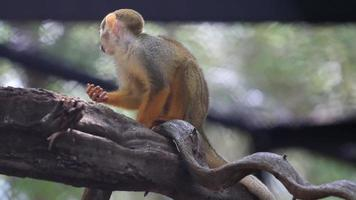 Squirrel Monkey Eating on a Branch video