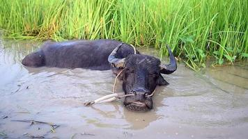 A Buffalo in The Mud