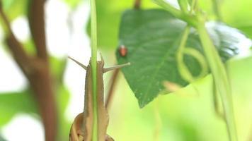 caracol escalando uma planta. video