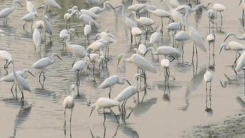 White Egrets Looking for Food video