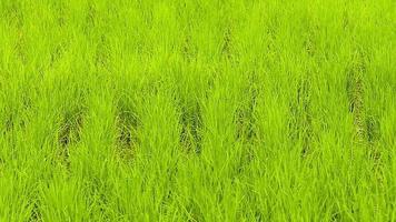 fundo de arroz verde video